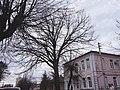 05-101-5002 Красень дуб Вінниця (1).jpg