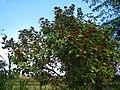 09738jfLandscapes Bixa orellana Maronquillo Roads San Rafael Bulacanfvf 22.JPG