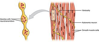 "Smooth muscle tissue - A series of axon-like swelling, called varicosities or ""boutons,"" from autonomic neurons form motor units through the smooth muscle."