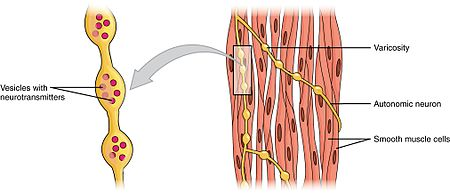 smooth muscle tissue - wikipedia, Cephalic Vein