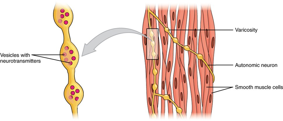1029 Smooth Muscle Motor Units