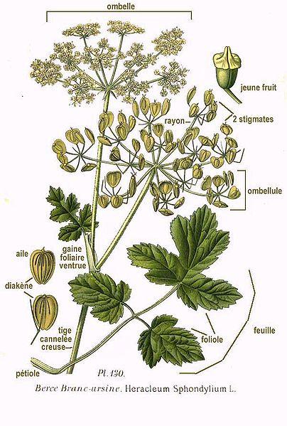 File:130 Heracleum Sphondylium L.jpg