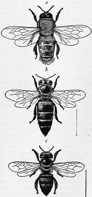 1911 encyclop u00e6dia britannica  bee