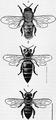 1911 Britannica - Bee - Apis mellifica.png