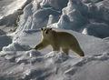 1991 polar-bear03 hg.jpg