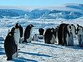 2007 Snow-Hill-Island Luyten-De-Hauwere-Emperor-Penguin-85.jpg