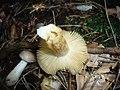 2011-08-11 Russula puellaris Fr 195844.jpg