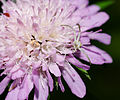 2012-06-24 17-18-45-thomisidae-on-flower.jpg