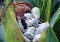 2012-10-06 Ustilago maydis (DC.) Corda 269343.jpg