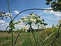 20120813Heracleum sphondylium7.jpg