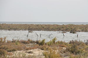 Lake Bardawil - Dummy birds to attract and hunt migrating birds in Lake Bardawil