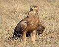 20130925 Serengeti5252 Aigle ravisseur.jpg