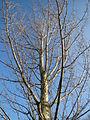 20131118Populus nigra2.jpg