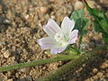 20150606Malva neglecta5.jpg