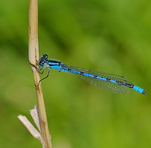Common blue damselfly - Enallagma cyathigerum, male.