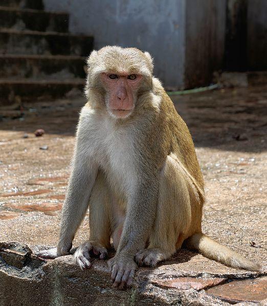 File:20160802 - Rhesus macaque - Mount Popa, Myanmar - 7179.jpg