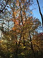 2017-11-10 15 53 42 View up into the canopy of several trees during late autumn within Hosepen Run Stream Valley Park in Oak Hill, Fairfax County, Virginia.jpg
