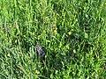 2018-05-13 (141) Nature at Bichlhäusl in Frankenfels, Austria.jpg