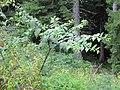 2018-08-11 (153) Atropa belladonna (deadly nightshade) at Tirolerkogel, Annaberg, Austria.jpg