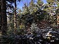 2020-10-17 14 34 52 Balsam Firs covered in a light coating of snow along the Lookout Rock Trail on Equinox Mountain in Manchester, Bennington County, Vermont.jpg