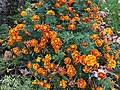 2020-11-15 12 00 30 Marigolds blooming along Allness Lane in the Franklin Farm section of Oak Hill, Fairfax County, Virginia.jpg