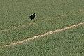 20210409 Corvus frugilegus 02.jpg