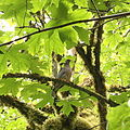 2c Band-tailed pigeon (Columba fasciata) (7533523466).jpg