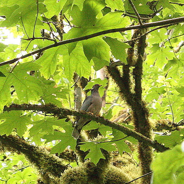 File:2c Band-tailed pigeon (Columba fasciata) (7533523466).jpg