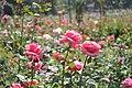 3 Pink Roses.jpg
