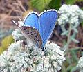 ADONIS BLUE (3306467503).jpg