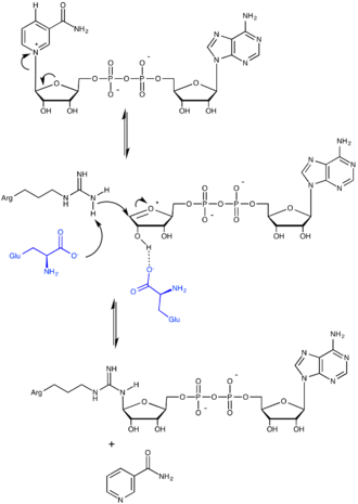 ADP-ribosylation - Mechanism for ADP-ribosylation, with residues of the catalyzing enzyme shown in blue.