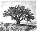 AFR V2 D232 Cork tree of Fernana.jpg