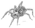 ARAN Lycosidae Anoteropsis hilaris f.png