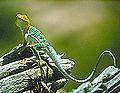 ARCH lizard.jpg