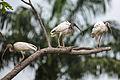 AR PN COSTA03 SANTAY AVITURISMO White Ibis 001 (14180198845).jpg