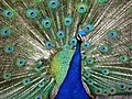 A GFS resident peacock shows off 6-8-2014.jpg