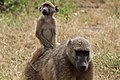 A Mother & Baby Baboon.jpg