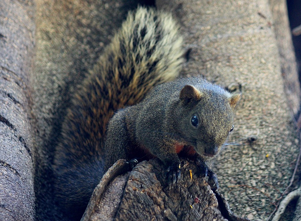 The average litter size of a Pallas's squirrel is 1