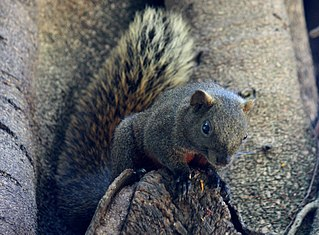 """Pallass squirrel Species of """"beautiful"""" squirrel from Asia"""
