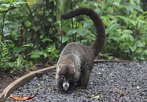 Coati - White-nosed coati (Nasua narica)