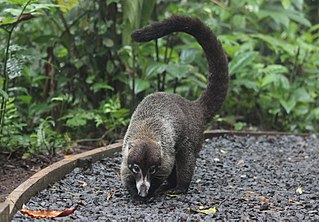 Coati Species of mammal