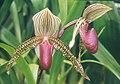 A and B Larsen orchids - Paphiopedilum superbiens sukhakulii rothschildianum 474-14.jpg