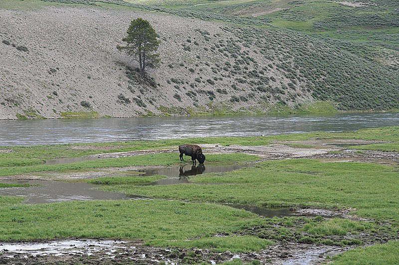 File:A bison with reflection in yellowstone.jpg