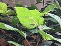 A black ant on a green leaf.jpg