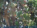 A blooming cactus in Beersheba Israel IMG 8177.JPG