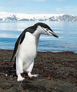 A chinstrap penguin (Pygoscelis antarcticus) on Deception Island in Antarctica.jpg