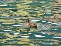 A duck (4929991534) (2).jpg