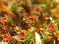 A moss - Polytrichum piliferum - geograph.org.uk - 974857.jpg