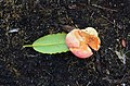 A peach-looking gall Exobasidium rhododendri? (32990390114).jpg