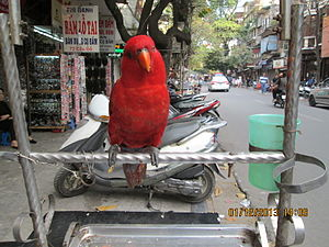 A pet lorikeet in Hanoi.JPG